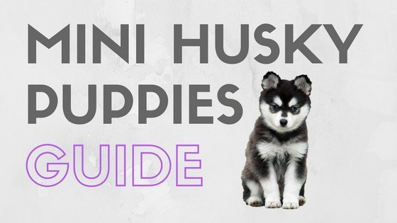 Mini Husky Puppies Everything You Need To Know Mhl