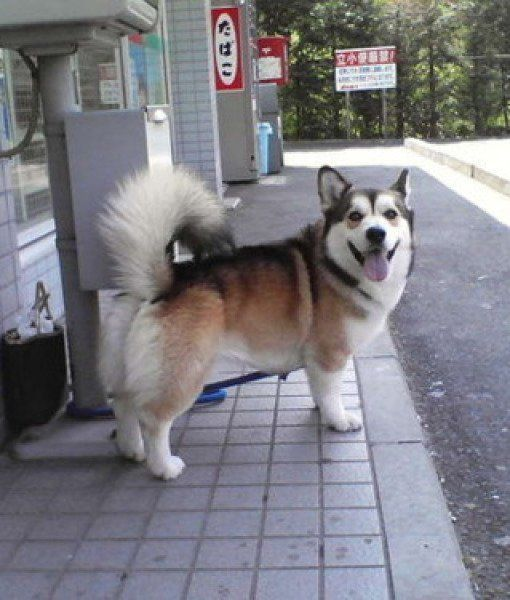 Popular Siberian Husky Chubby Adorable Dog - husky-corgi-mix  Picture_739145  .jpg